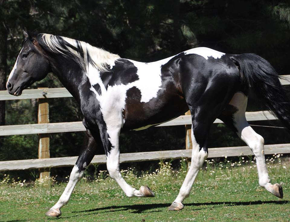Transfer The Funds Apha Black Tovero Dragonwood Horse